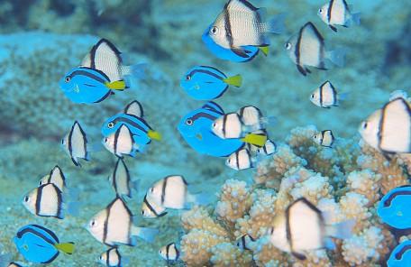 沖縄 ナンヨウハギの幼魚