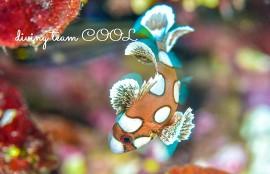 沖縄 チョウチョウコショウダイの幼魚
