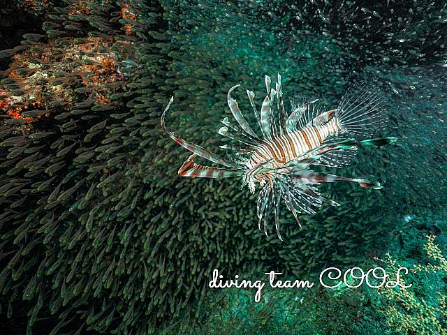 沖縄 ハナミノカサゴ