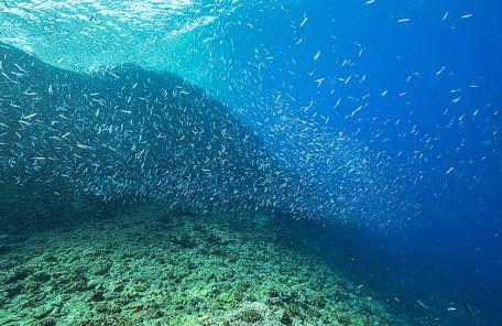 沖縄 キビナゴの群れ