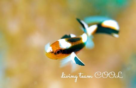沖縄ヒレグロコショウダイの幼魚