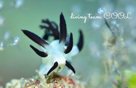 沖縄本島 水中マクロ写真 パンダツノウミウシ