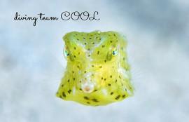 沖縄コンゴウフグの幼魚