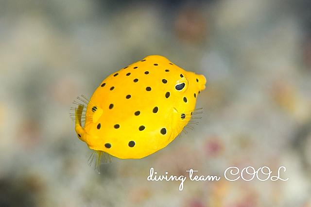 沖縄ミナミハコフグの幼魚