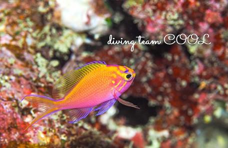 沖縄 ハナゴンベの幼魚
