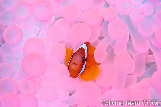 沖縄ピンクのイソギンチャク
