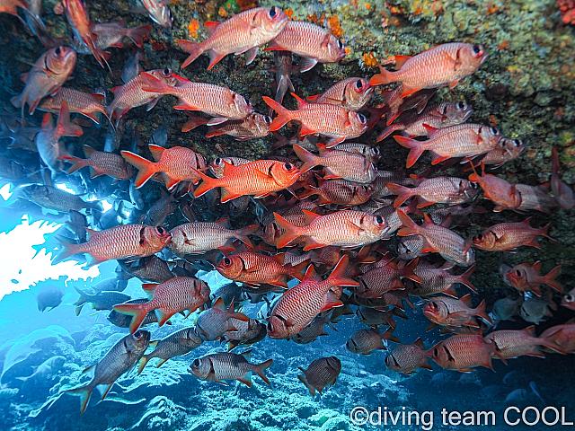 沖縄ダイビング アカマツカサ