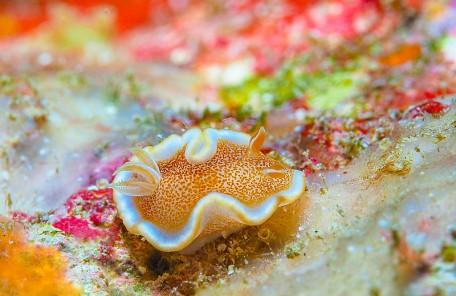 沖縄キャラメルウミウシ