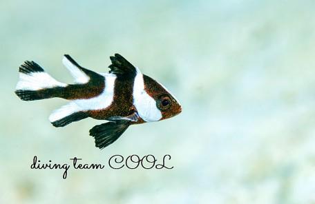 沖縄センネンダイの幼魚