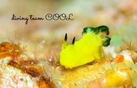 沖縄ダイビング ウミウシ タチアオイウミウシ
