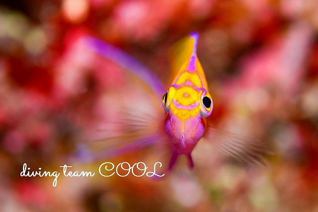 沖縄ダイビング ハナゴンベ幼魚