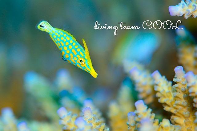 沖縄ダイビング テングカワハギ幼魚