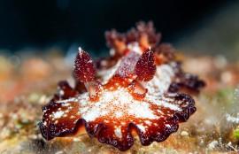 沖縄ダイビング ウミウシ ヒラツヅレウミウシ