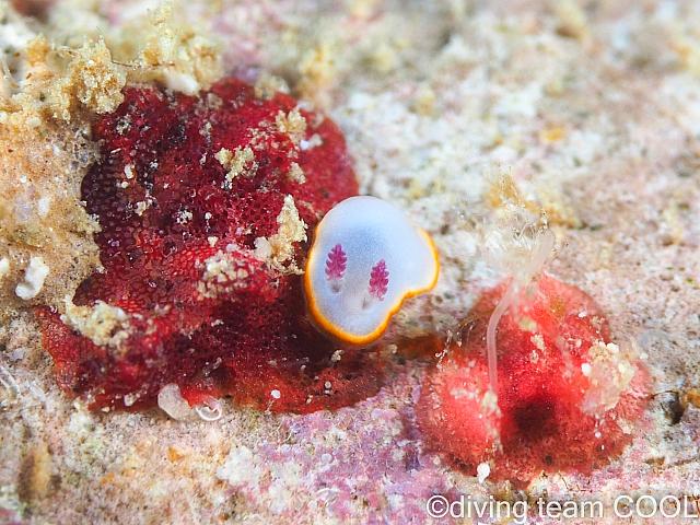 沖縄シラヒメウミウシ