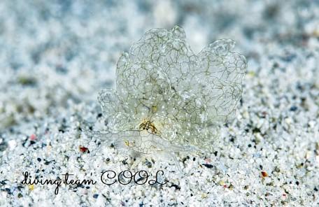 沖縄アミメウロコウミウシ