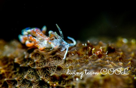 沖縄ハナビラミノウミウシ
