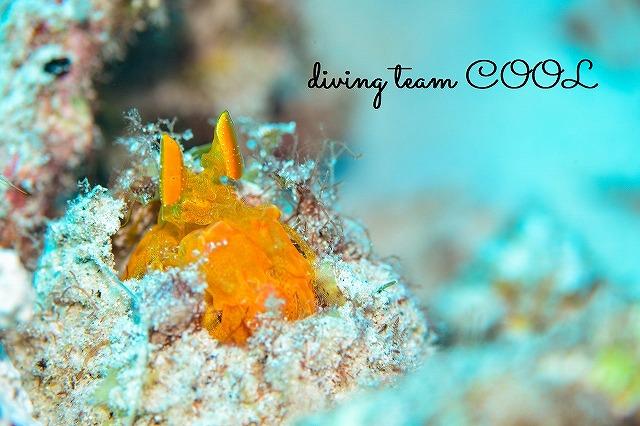 沖縄ダイビング バルタンシャコ