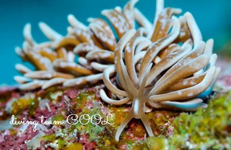 沖縄ダイビング ウミウシ シロブチクセニアウミウシ
