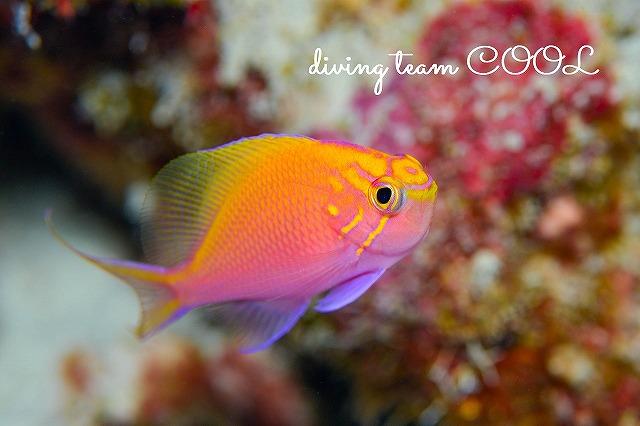 沖縄本島 ウミウシダイビング ハナゴンベ幼魚