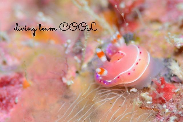 沖縄本島 ウミウシダイビング ジュッテンイロウミウシ
