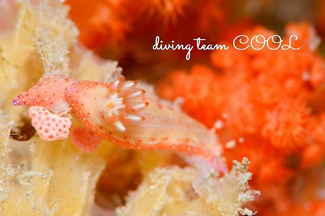 沖縄本島 ウミウシダイビング アオウミウシ属の1種5