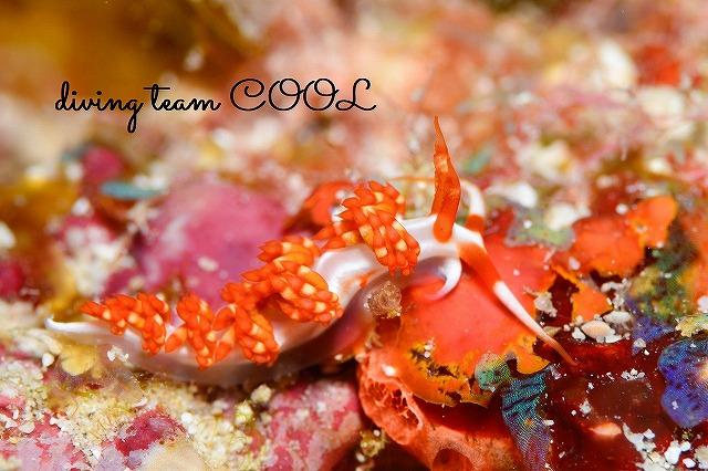 沖縄本島 ウミウシダイビング サビイロミノウミウシ