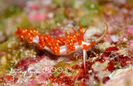 沖縄ウミウシダイビング サビイロミノウミウシ