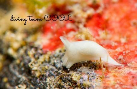 沖縄本島 ウミウシダイビング シロウミコチョウ