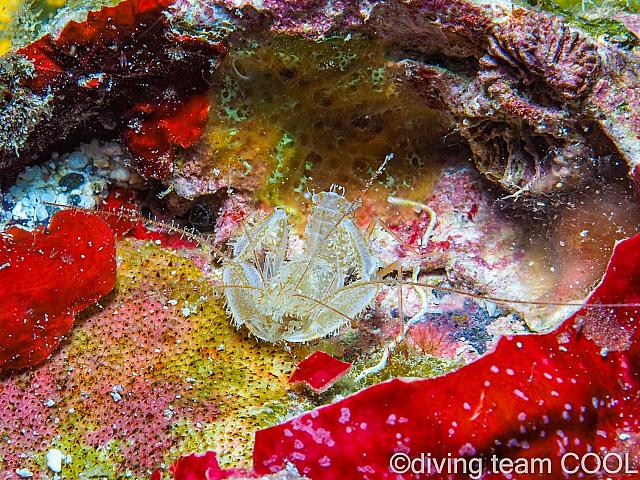 沖縄サンゴヒメエビ