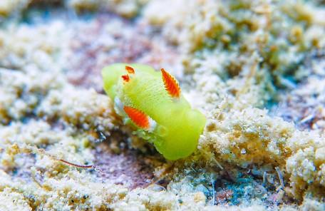 沖縄シラユキウミウシ属の一種3