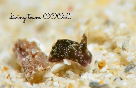 沖縄ダイビングウミウシ ウミコチョウ科の一種