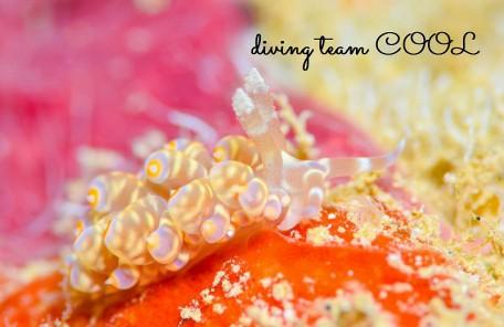 沖縄ウミウシダイビング ワグシミノウミウシ