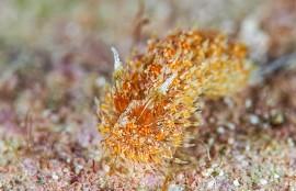 沖縄コヤナギウミウシ属の一種18