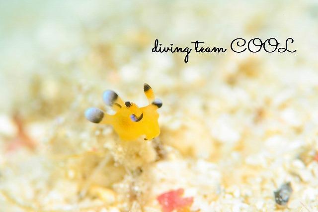 沖縄ウミウシダイビング ウデフリツノザヤウミウシ