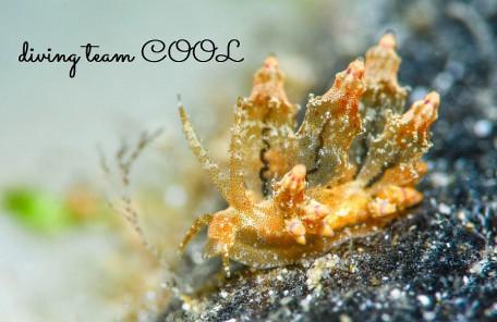 沖縄ウミウシダイビング ツノトゲホリミノウミウシ