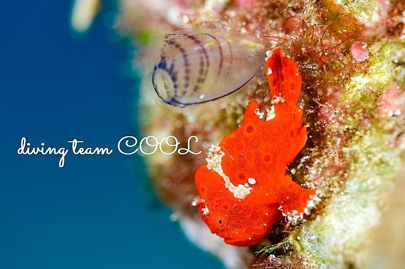 沖縄カエルアンコウの幼魚