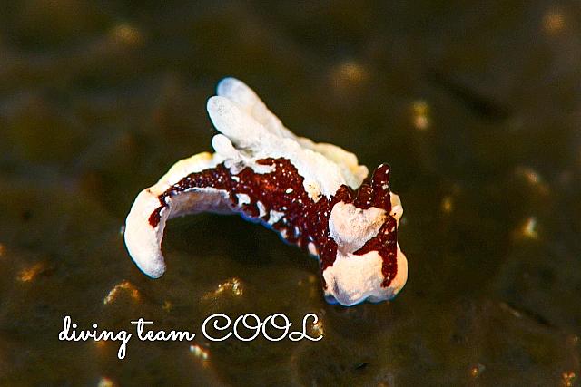 沖縄カイヒメウミウシ