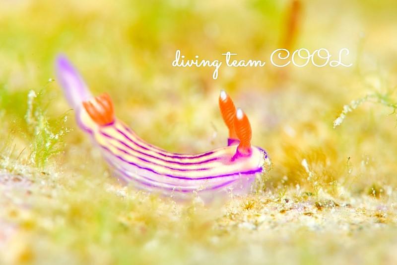 沖縄クチナシイロウミウシ