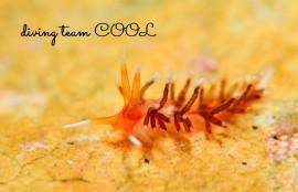 沖縄ダイビング ウミウシ ヨツスジミノウミウシ属の一種6