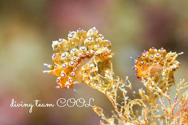 沖縄本島 砂辺 トゲトゲウミウシ