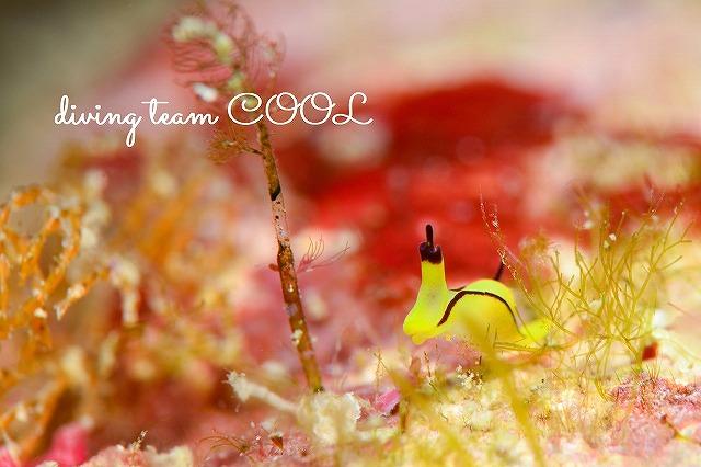 沖縄本島砂辺 ウミウシ オレンジウミコチョウ