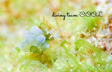 沖縄本島 砂辺 ウミウシ タマミルウミウシ