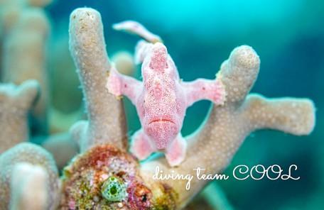 #カエルアンコウの幼魚