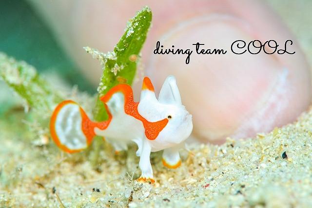 #沖縄本島マクロダイビング #ゴリラチョップ #クマドリカエルアンコウ幼魚