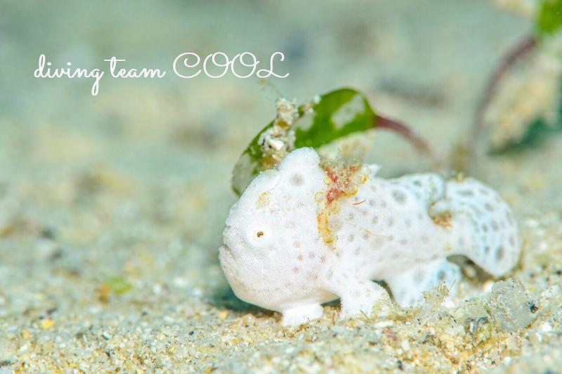 #沖縄本島マクロダイビング #ゴリラチョップ #イロカエルアンコウ幼魚