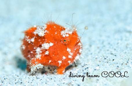 #慶良間諸島マクロダイビング #ケラマ諸島 #カエルアンコウ幼魚