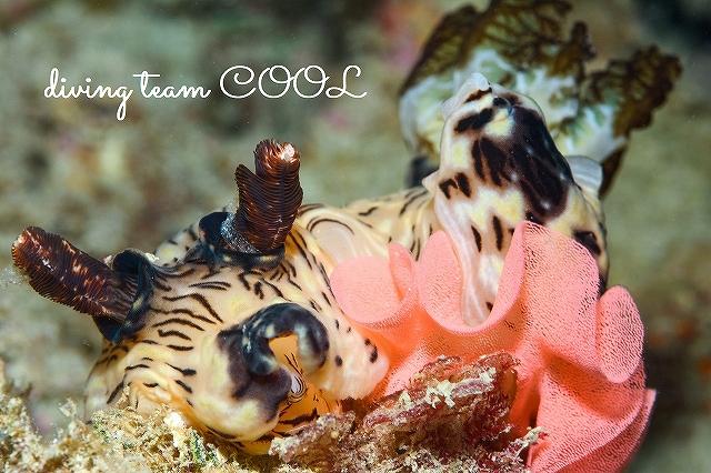 沖縄本島ビーチダイビング ブッシュドノエルウミウシ