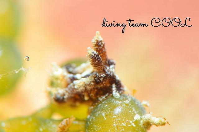 沖縄本島ビーチダイビング クロネコウミウシ