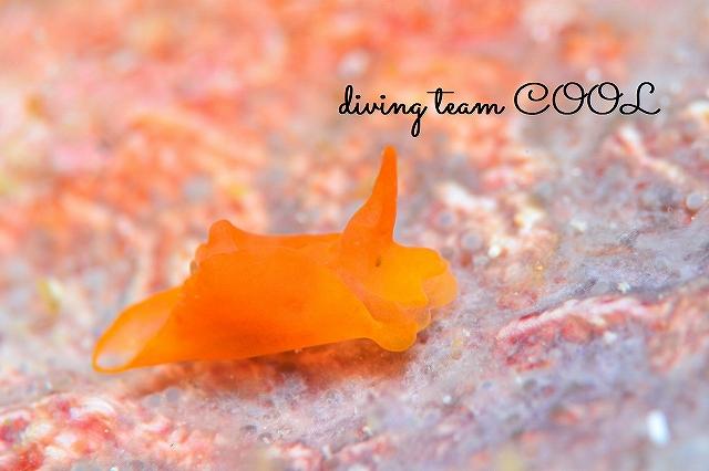 沖縄本島マクロダイビング ウミコチョウの一種
