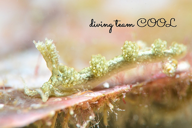 沖縄本島マクロダイビング フイリフサツノミノウミウシ